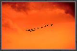 Nightflight by corngrowth, Photography->Birds gallery