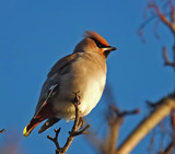 Waxwing 2 by biffobear, photography->birds gallery