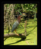 Heron Portrait by gerryp, Photography->Birds gallery