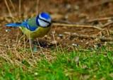 Worm watcher by biffobear, photography->birds gallery