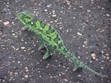 Chama Chama Chameleon by Hotchpotch, Photography->Reptiles/amphibians gallery