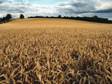 Field of Wheat by Mannie3, Photography->Landscape gallery
