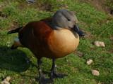 South African Shelduck by gonedigital, photography->birds gallery