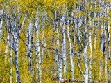 Aspen In Montana by Zava, photography->landscape gallery