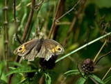 Female Meadow Brown by biffobear, photography->butterflies gallery