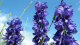 Aconitum Ferox - Wolfsbane - Monkshood  by JayC242, Photography->Flowers gallery