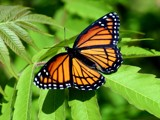 monarch butterfly by unconciousepiphany, Photography->Butterflies gallery