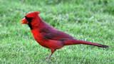 Cardinal by J_E_F, photography->birds gallery