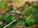 Female Common Darter by biffobear, photography->insects/spiders gallery