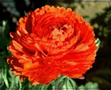 For the Orange Lovers by trixxie17, photography->flowers gallery