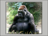 Grumpy Gorilla by LynEve, Photography->Animals gallery