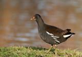 Waterhen by biffobear, photography->birds gallery