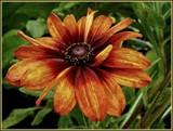 Ornamental Rudbeckia by trixxie17, photography->flowers gallery