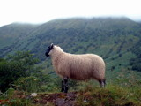 scottish sheep by JQ, Photography->Animals gallery