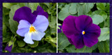 My 2021 Pansies by trixxie17, photography->flowers gallery