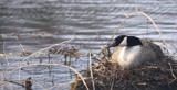 Nesting Goose by tigger3, photography->birds gallery