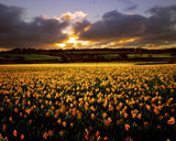 GOLDEN DAFFODILS by LANJOCKEY, Photography->Flowers gallery