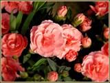 Carnation Garden by trixxie17, photography->flowers gallery