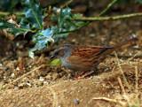 Dunnock 2 by biffobear, photography->birds gallery