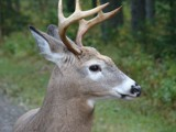 nice deer by picardroe, photography->animals gallery