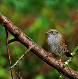 Dunnock 2 by biffobear, photography->birds gallery