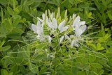 White Cleome - Spider Flower by trixxie17, photography->flowers gallery