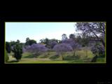 Purple Haze (Jacaranda Series) by J_272004, Photography->Flowers gallery