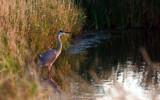 Le Grand Heron Bleu by noranda, Photography->Birds gallery