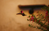 Balboa Hummingbird by tweir, photography->birds gallery