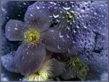 Clematis Through Rain by LynEve, Photography->Manipulation gallery