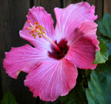 Hibiscus bloom by amishy, photography->flowers gallery