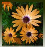Orange Daisies by ccmerino, photography->flowers gallery