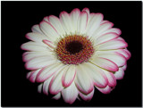A Gerbera for the New Year! by ccmerino, Photography->Flowers gallery