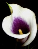 Calla by ccmerino, photography->flowers gallery