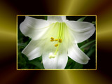 EASTER LILY by pikman, Photography->Flowers gallery