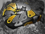 Ball Python by Hanya, Photography->Manipulation gallery