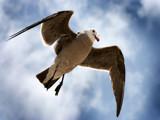 Jonathan Livingston Seagull by altrdwrld, Photography->Birds gallery