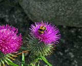 The Bee and Thistle by biffobear, Photography->Insects/Spiders gallery