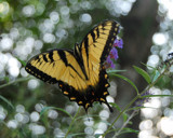 Butterfly Bush by aboogie, photography->butterflies gallery