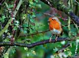 Snow's on It's way Robbie by biffobear, photography->birds gallery