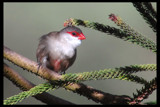 Common Waxbill by garrettparkinson, photography->birds gallery