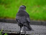Jackdaw.. by biffobear, photography->birds gallery
