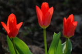 Tulips Alight by Ramad, photography->flowers gallery