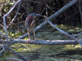 Green Heron by gerryp, Photography->Birds gallery