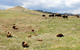 Black Hills 6 ~ Lazing the Day Away by Nikoneer, photography->animals gallery