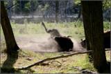 Dust Bath by Nikoneer, photography->animals gallery