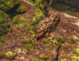 Eagle Owl by biffobear, photography->birds gallery