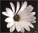 White Daisy by ccmerino, photography->flowers gallery