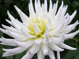 White Dahlia by jdinvictoria, Photography->Flowers gallery