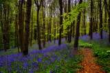 Bluebell Path by biffobear, photography->landscape gallery